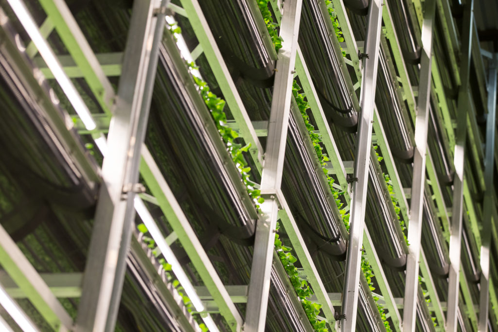 Another image of the vertical farm, with lettuce growing from floor to ceiling, Singapore Airlines AEROFARMS