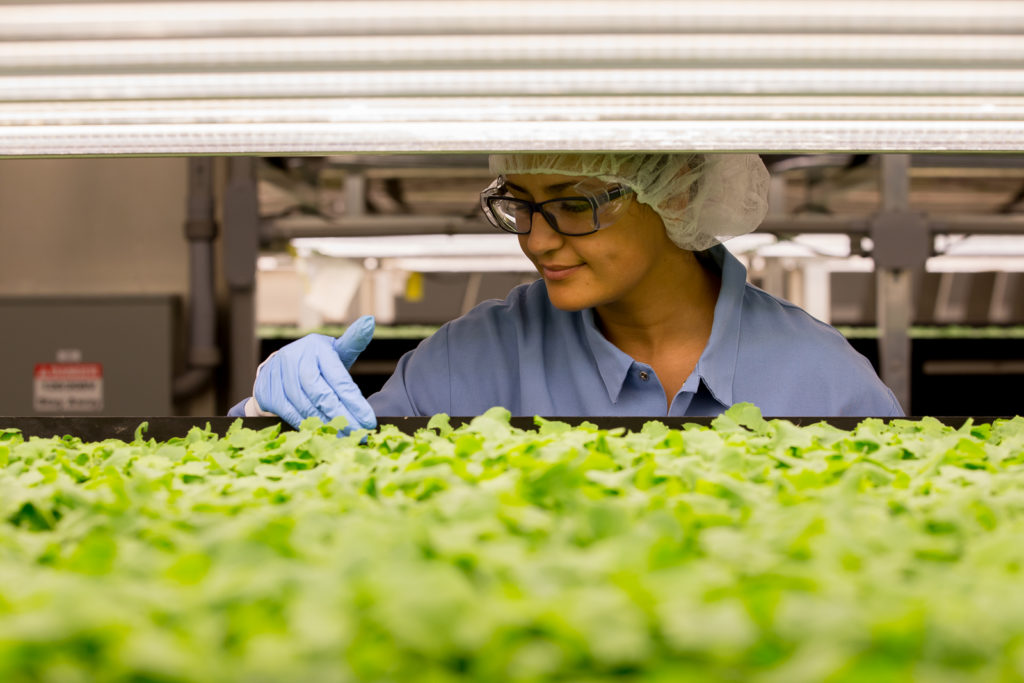 An AeroFarm worker, checking on the lettuce. Singapore Airlines AEROFARMS
