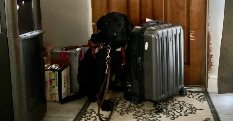AA black lab waits at the door beside a suitcase. The dog is a service animal for his owner, the author of this Op-Ed