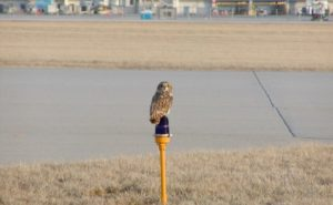 Short eared owl on a perch at an airport.