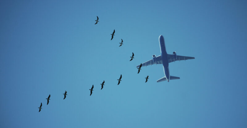 Bird strike. Generic Photograph of twelve Seagulls flying in a V shape formation on the foreground and a large commercial plane in the background against blue sky. The birds are flying left to right and the plane is flying bottom to top of the image.