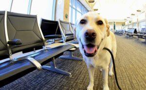 Service dog, a Labrador Retriever, at the airport