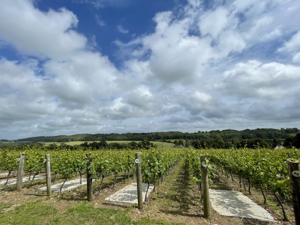 Hambledon is located just inland from the English Channel.  His vines are shown here on a sunny day