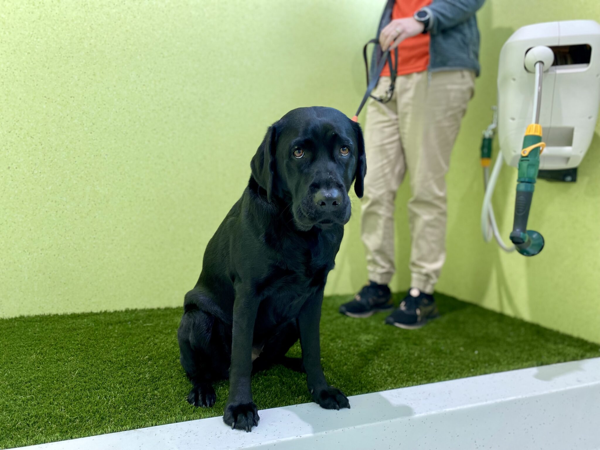 Black lab posing for photo at Perth Airport's animal relief area